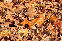 Kleurrijke en bruine de herfstbladeren, textuur, materiaal en achtergrond Verlaat de bladeren van de bomen, sluiten omhoog Stock Foto