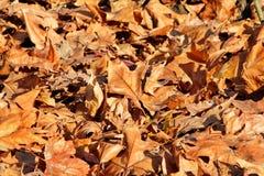 Kleurrijke en bruine de herfstbladeren, textuur, materiaal en achtergrond Verlaat de bladeren van de bomen, sluiten omhoog Royalty-vrije Stock Afbeelding