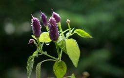 Kleurrijke en zeer hete peper royalty-vrije stock afbeelding