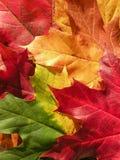 Kleurrijke esdoornbladeren Royalty-vrije Stock Afbeeldingen
