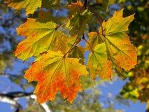 Kleurrijke esdoornbladeren stock afbeelding