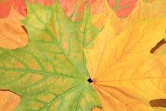 Kleurrijke esdoornbladeren Stock Foto's