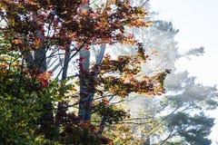 Kleurrijke esdoornboom in de mist royalty-vrije stock foto