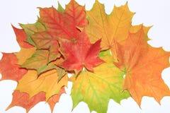 Kleurrijke Esdoorns Stock Foto