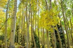 Kleurrijke esp in het bos tijdens gebladerteseizoen stock fotografie