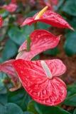 Kleurrijke flamingobloem Stock Fotografie