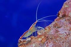 Kleurrijke garnaal binnen het aquarium Stock Afbeeldingen