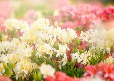 Kleurrijke gele azaleabloemen in tuin Bloeiende struiken van heldere azalea bij de lentezonlicht Aard, de lentebloemen stock afbeelding