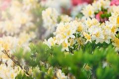 Kleurrijke gele azaleabloemen in tuin Bloeiende struiken van heldere azalea bij de lentezonlicht Aard, de lentebloemen stock afbeeldingen