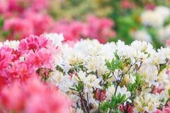 Kleurrijke gele azaleabloemen in tuin Bloeiende struiken van heldere azalea bij de lentezonlicht Aard, de lentebloemen stock fotografie