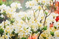 Kleurrijke gele azaleabloemen in tuin Bloeiende struiken van heldere azalea bij de lentezonlicht Aard, de lentebloemen royalty-vrije stock foto