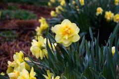 Kleurrijke gele daglelies na een regen op een warme de lentedag royalty-vrije stock foto