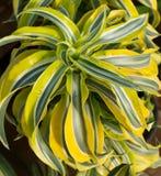 Kleurrijke gele geschakeerde houseplant Dracena stock fotografie