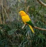 Kleurrijke gele loripapegaai op de toppositie stock foto