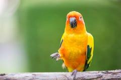 Kleurrijke gele papegaai, Zon Conure Stock Fotografie