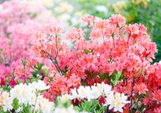 Kleurrijke gele roze azaleabloemen in tuin Bloeiende struiken van heldere azalea bij de lentezonlicht Aard, de lentebloemen stock afbeeldingen