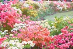 Kleurrijke gele roze azaleabloemen in tuin Bloeiende struiken van heldere azalea bij de lentezonlicht Aard, de lentebloemen royalty-vrije stock afbeelding
