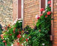 Kleurrijke geraniumbloemen Royalty-vrije Stock Afbeeldingen