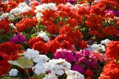 Kleurrijke geraniums stock afbeeldingen