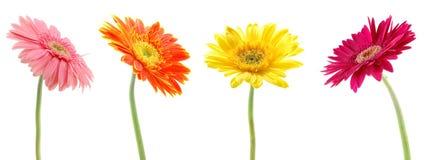 Kleurrijke gerberas Stock Foto's