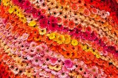 Kleurrijke gerberasachtergrond Stock Afbeeldingen