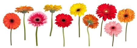 Kleurrijke gerberbloemen Stock Foto