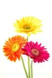 Kleurrijke gerbermadeliefjes Stock Afbeeldingen