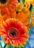 Kleurrijke gerbers stock foto