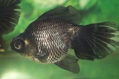 Kleurrijke goudvis royalty-vrije stock afbeelding