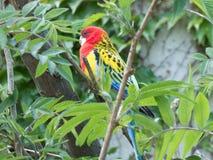 Kleurrijke grasparkiet tussen takken in de dierentuin stock afbeeldingen