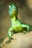 Kleurrijke groene basiliskhagedis stock fotografie