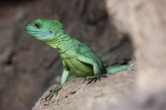 kleurrijke groene basiliskhagedis royalty-vrije stock foto