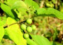 Kleurrijke groene wilde bes stock afbeeldingen