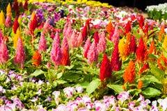 Kleurrijke hanekambloemen Stock Afbeeldingen