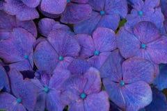 Kleurrijke hortensiaachtergrond Royalty-vrije Stock Foto's
