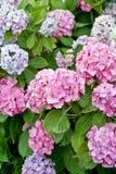 Kleurrijke hydrangea hortensiabloemen Stock Foto