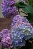 Kleurrijke hydrangea hortensiabloemen Stock Afbeelding