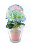 Kleurrijke hydrangeums in glaspotten Royalty-vrije Stock Foto