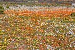 Kleurrijke inheemse bloemen dichtbij Nariep Royalty-vrije Stock Fotografie