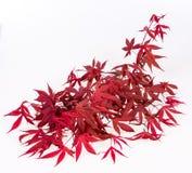 Kleurrijke Japanse Esdoorn Royalty-vrije Stock Foto's