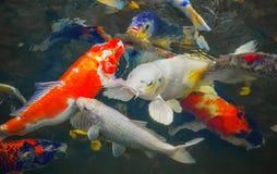 Kleurrijke Japanse karper die in de vijver zwemmen Stock Fotografie