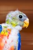 Kleurrijke jonge vogel Royalty-vrije Stock Foto's