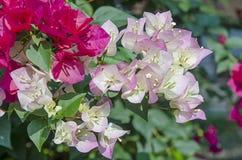 Kleurrijke Kertas-bloem Bouganvilla van het document Flower Stock Foto's