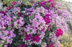 Kleurrijke Kertas-bloem Bouganvilla van het document Flower Stock Afbeelding