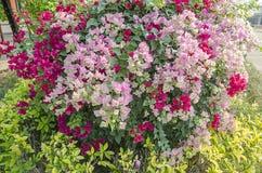 Kleurrijke Kertas-bloem Bouganvilla van het document Flower Royalty-vrije Stock Afbeelding