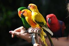 Kleurrijke kleine papegaaien Stock Foto