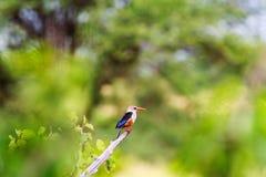 Kleurrijke kleine vogel - ijsvogelvogel Tarangire, Afrika Stock Foto