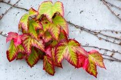 Kleurrijke Klimop Royalty-vrije Stock Fotografie