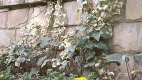 Kleurrijke klimop op een steenmuur 4k, langzame motie stock footage