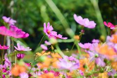 Kleurrijke kosmos in de tuin royalty-vrije stock foto's